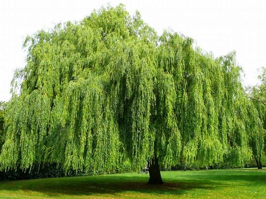 weepingwillowtree